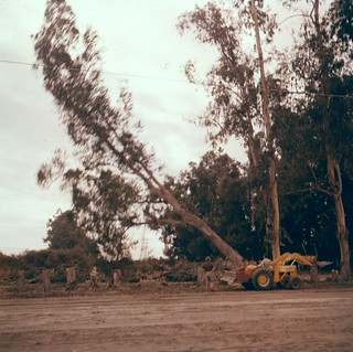 Felling wind breaks, Orange County, 1950s