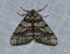 # 6659 – Phigalia denticulata – Toothed Phigalia Moth?