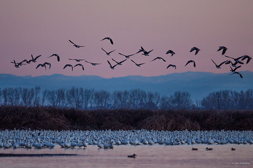 california ca usa birds northerncalifornia sunrise dawn us flying inflight unitedstatesofamerica northamerica sanjoaquin centralvalley losbanos snowgoose rosssgoose chenrossii chencaerulescens wildlifephotography mercednwr ducksgeese mercednationalwildliferefuge ducklikebirds losbanosarea