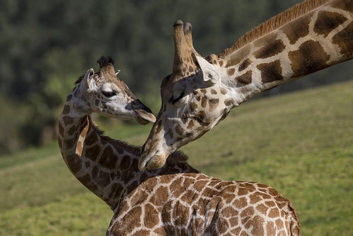 3-Month-Old Giraffe Released into the East Africa Exhibit after Lengthy Hospitalization