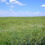 Anfang Mai auf dem >>Hottar<<, so nannte man in der banatschwäbischen Mundart die landwirtschaftlichen Anbauflächen.  Foto: Werner Gilde
