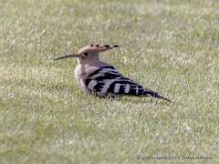 HolderHoopoe Bird at Flamborough Head 04/05/16