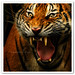 Zoo Negara Kuala Lumpur - Tiger by TOONMAN_blchin