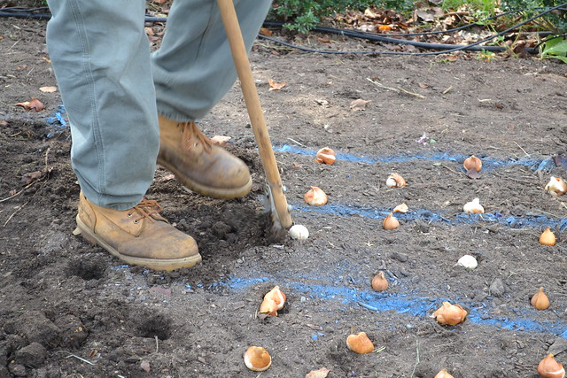 "Gardeners use special tools (aptly named ""bulb diggers"") to make the work of planting thousands of spring bulbs go a little more quickly.  Photo by Elizabeth Peters."