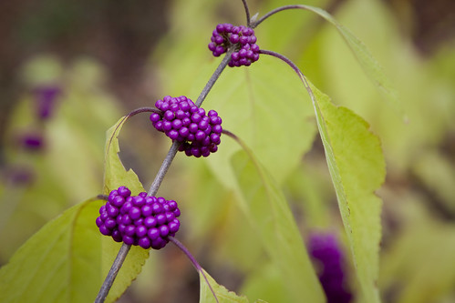 beautyberry_native_plant_vance