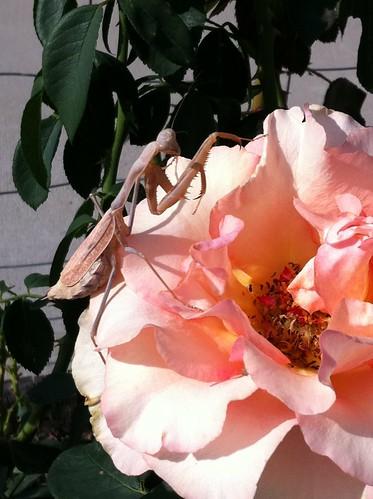 1mantis rose Jo Ann Sendldorfer fremont