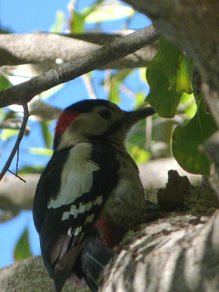 15-11-2011-syrian-woodpecker2