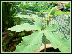 First fruit on our 4.5-month old Abelmoschus esculentus (Okra, Lady's Finger, Gumbo)