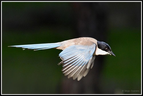 Pega-azul / (Cyanopica cyanus) /  Azure-winged Magpie by Sérgio Guerreiro