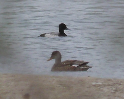 Lesser Scaup and Gadwall