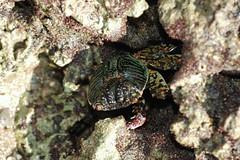 身手矯捷的白紋方蟹(Grapsus albolineatus) 常躲於藻礁孔隙中。(圖片來源:劉靜榆)