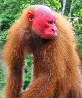 Red faced Uakari Monkey
