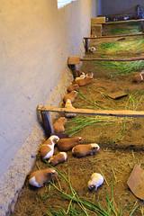 Cuy Farm