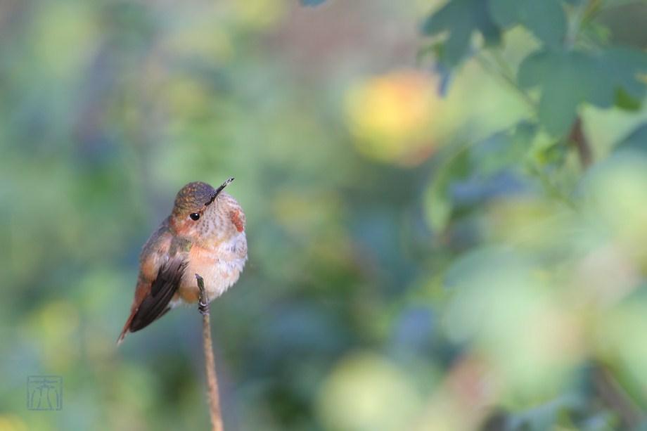 Allen's Hummingbird 121611-5