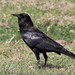 Cape Crow - Photo (c) Dave Curtis, some rights reserved (CC BY-NC-ND)