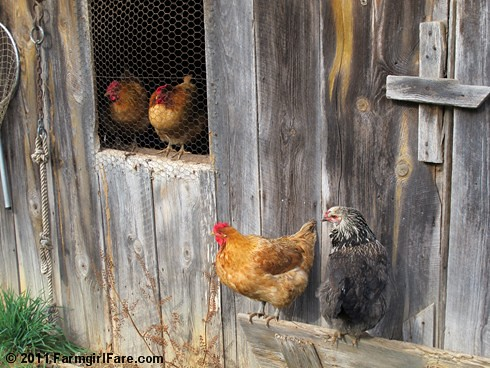 Hens hanging out - FarmgirlFare.com