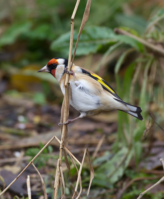 goldfinch on stem on cloudy day 2