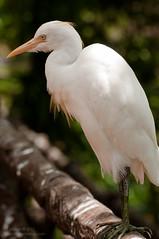 great egret(0.0), ibis(0.0), animal(1.0), wing(1.0), fauna(1.0), close-up(1.0), heron(1.0), beak(1.0), bird(1.0), wildlife(1.0), egret(1.0),