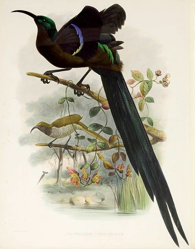 018-Ave del Paraiso-A Monograph of the Paradiseidae-1873 D.G. Elliot