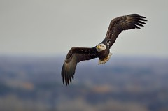 Bald Eagle DSC_2383 by Mully410 * Images
