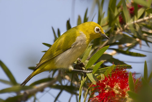 Oriental White-eye foraging on a bottle brush tree