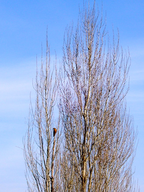 hawk in poplar tree