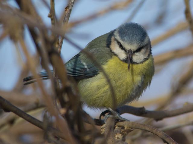 beaky blue tit 2