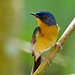 Hill Blue Flycatcher #2