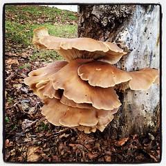 Big Fungi