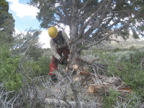 Pinyon and juniper trees are cut to provide optimal growth conditions for native sagebrush.