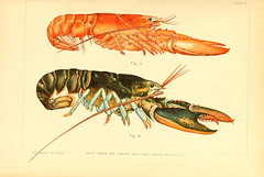 food(0.0), spiny lobster(1.0), animal(1.0), lobster(1.0), crustacean(1.0), crayfish(1.0), seafood(1.0), invertebrate(1.0), fauna(1.0), homarus gammarus(1.0), homarus(1.0), american lobster(1.0), illustration(1.0),