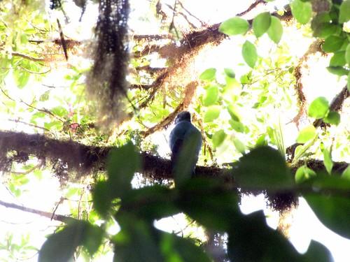 Replendent Quetzal