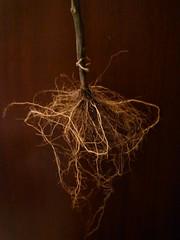 raíces de tomatera