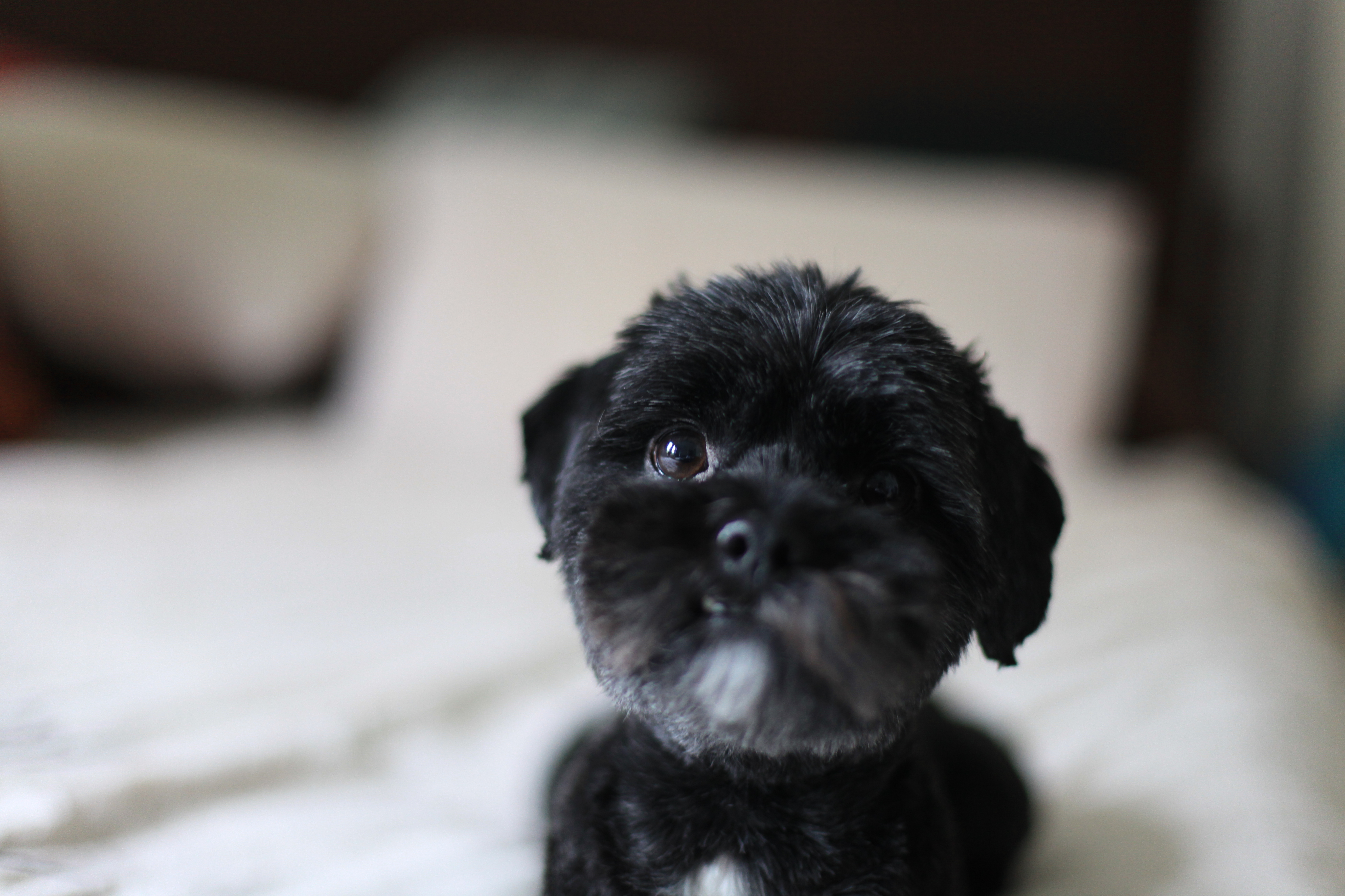 Cool We Passed A Gorgeous Black Dog That Looked Like A Big Version Of My Beaglesized Sadly Deceased Terracockapoowethink  Many Breeds Available From Wwwcarpetscouk Just &163895 Each House Is Not A Home Without A Shih Tzu The
