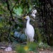 Cattle Egret on ground
