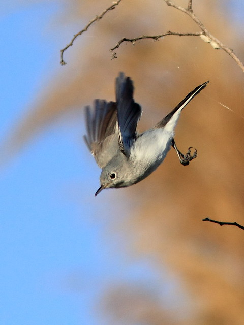 Blue-gray Gnatcatcher 8-20120125