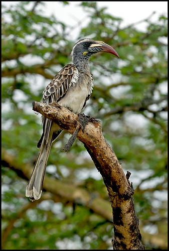 kenya birdwatcher africangreyhornbill lakenakurunationalpark goldwildlife thewonderfulworldofbirds birdperfect naturesgreenpeace allnaturesparadise amazingwildlifephotography tockusnastus macswildpixels