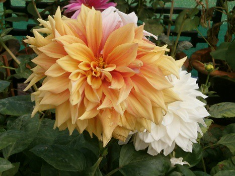 lalbaghflowershow2012002