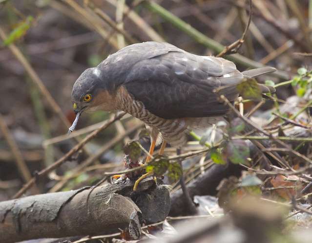 sparrowhawk with blue tit prey 4