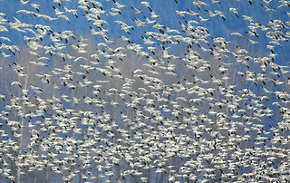 Snow Geese, less this year wintering in Skagit Valley, WA
