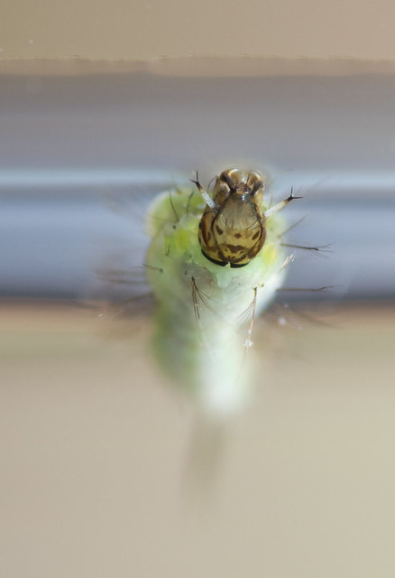 anopheline mosquito larvae