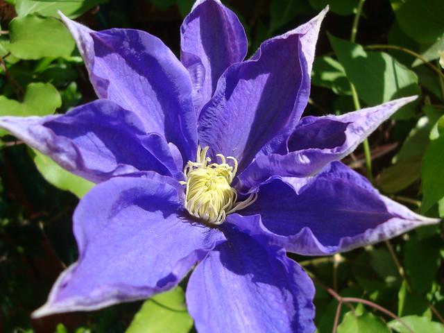Week 6 - Purple clematis 1