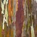 Eucalyptus Deglupta (Mindanao Gum Tree)