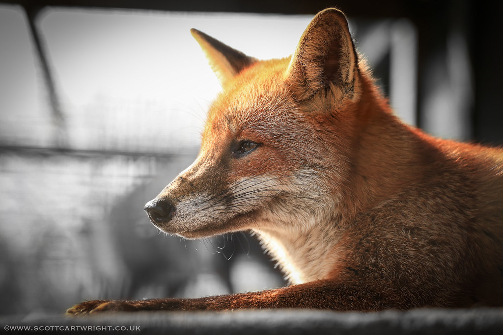 Red Fox Resting