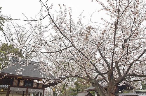 【写真】桜 : 護王神社