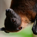Fruit Bat by ml_thorsteinson