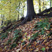 Small photo of Christmas fern under American beech