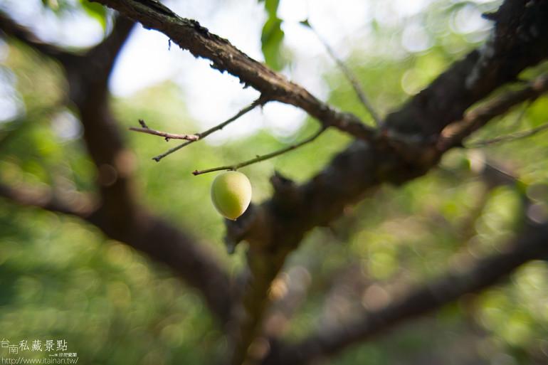 台南私藏景點--南化採梅 (1)