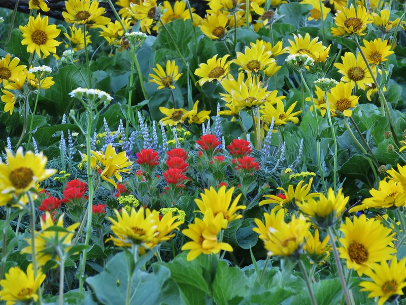 Balsamroot, lupine and paintbrush