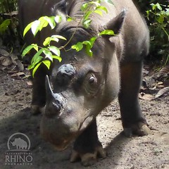"""Is this my good side?"" - #Rosa #SumatranRhino #TeamRhino #rhino"
